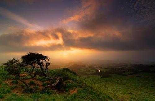 Tree Dorset