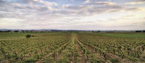 Vineyard, Marcorignan