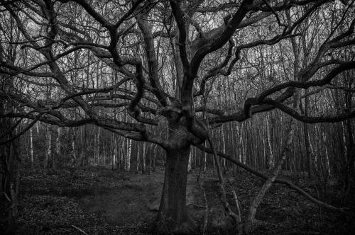 Heathcliff Tree