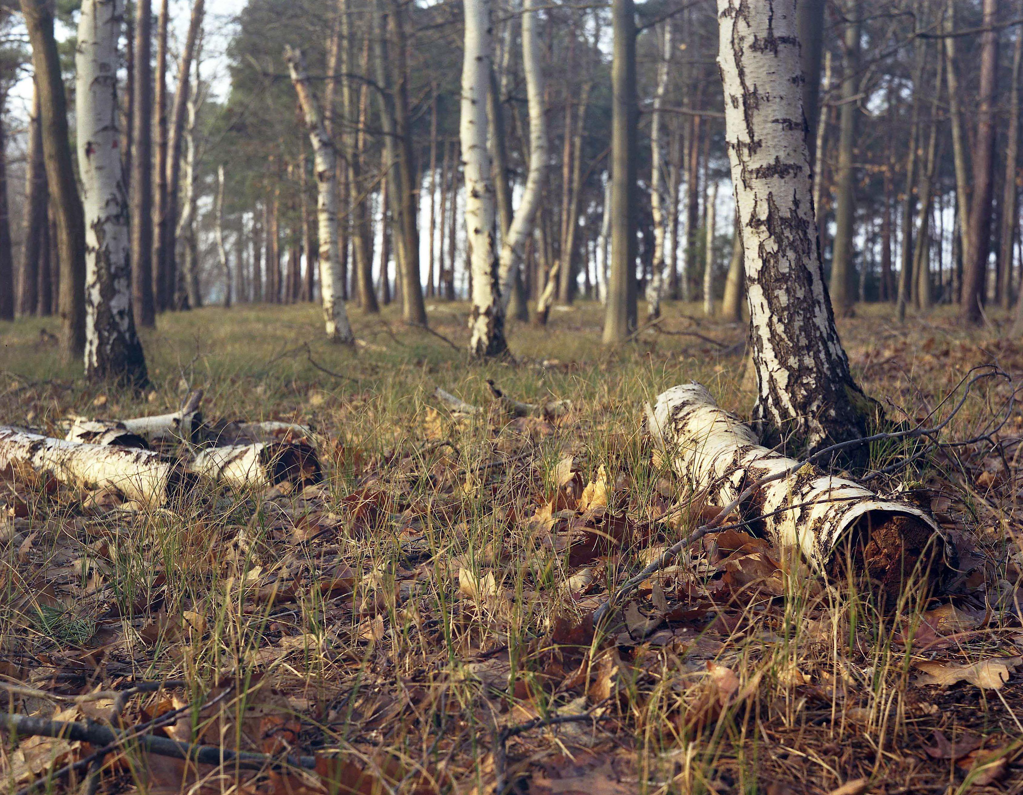 Elveden Forest, Suffolk